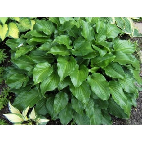 "FUNKIA ""INVINCIBLE"" (HOSTA ""INVINCIBLE"")"