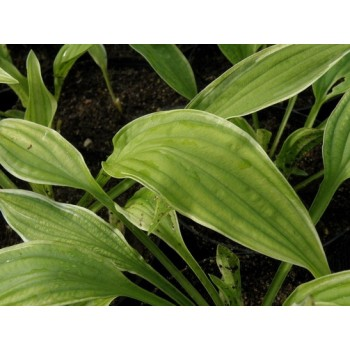 FUNKIA 'ICED LEMON' (HOSTA...