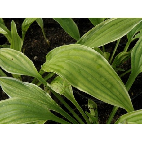 FUNKIA 'ICED LEMON' (HOSTA 'ICED LEMON')