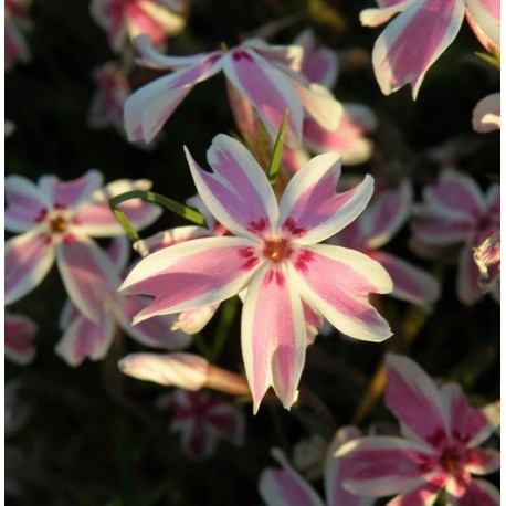 "FLOKS SZYDLASTY ""CANDY STRIPES"" (PHLOX SUBULATA ""CANDY STRIPES"")"