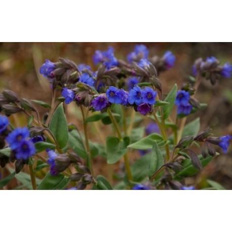 "MIODUNKA ""BLUE ENSIGN"" (PULMONARIA ""BLUE ENSIGN"")"