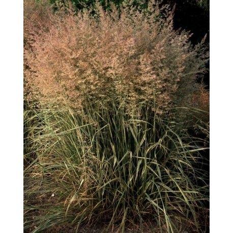 "Trzcinnik ostrokwiatowy ""OVERDAM"" (Calamagrostis ×acutiflora ""OVERDAM"")"