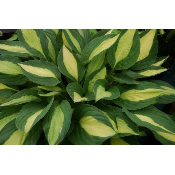 "FUNKIA ""GYPSY ROSE"" (HOSTA..."